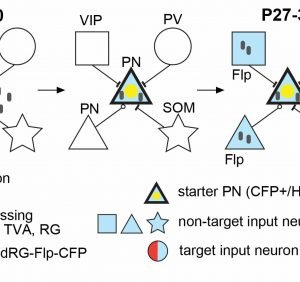 iMT: Creating a blueprint for cortical connectivity