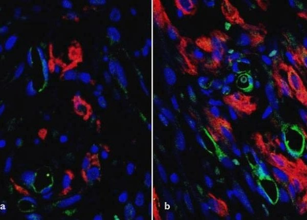 In vitro grafts increase blood flow in infarcted rat hearts