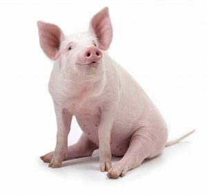 Frankenswine? Scientists Miraculously Restore Partial Brain Activity in Dead Pigs