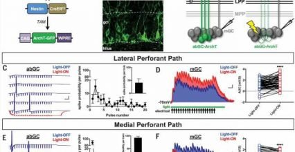 Newly generated nerve cells in dentate gyrus found to impact older nerve cells in two ways