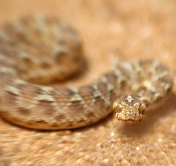 Faster treatment of snake bites