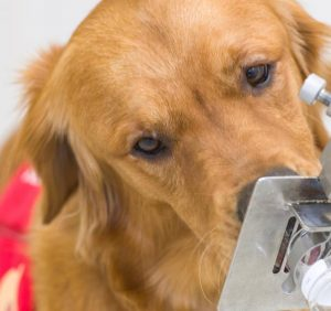 So British researchers are training dogs, Covid to detect 19-Infected