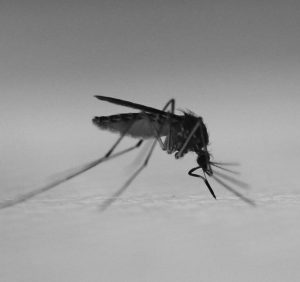 New tool mimics human skin to allow detailed study of mosquito biting