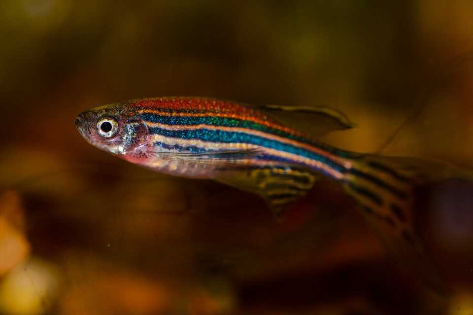 Anti-inflammatory benefits from gut bacteria found in fish and humans