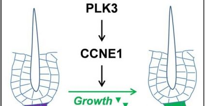 Researchers uncover new regulatory mechanism for skin hair regeneration capacity
